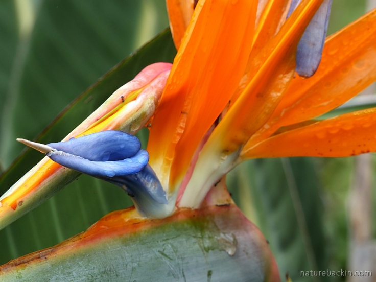 Crane flower or Bird of Paradise flower