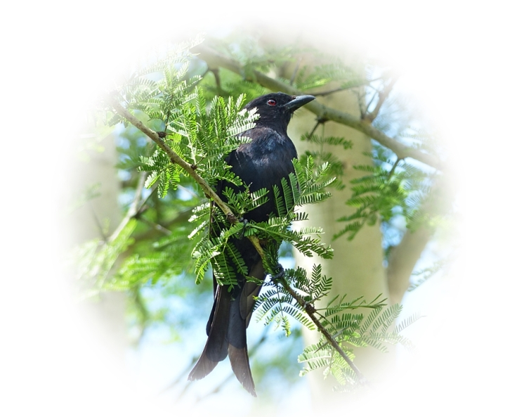 Perching in a Fever Tree, a Fork-tailed Drongo, South Africa