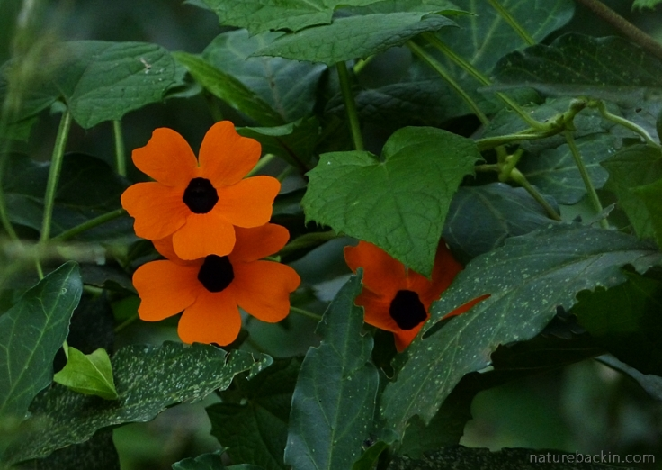 Black-eyed Susan vine in flower, South Africa