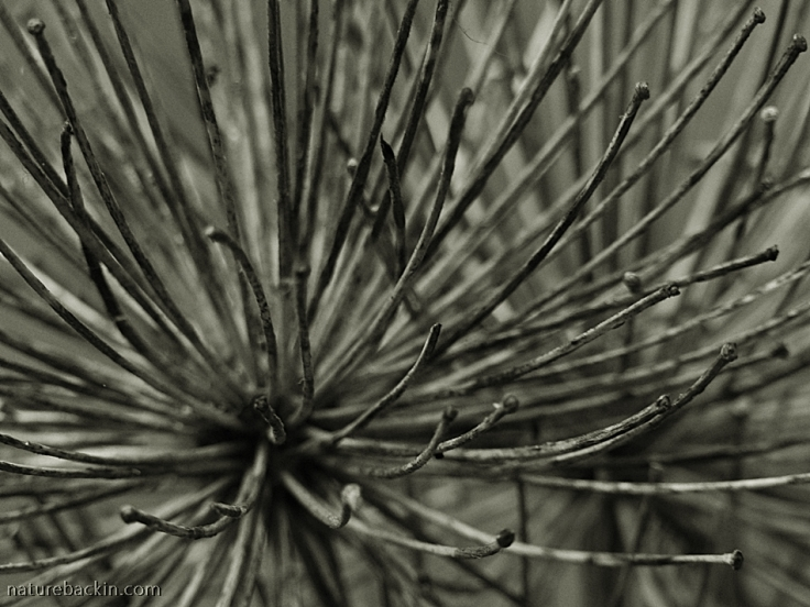 Abstract photograph of a dry seedhead of an agapanthus