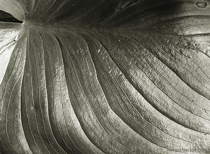 Black-and-white abstract image of textured leaf