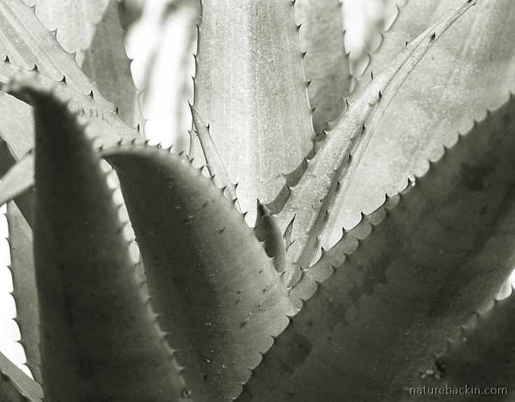 Aloe leaves with thorns in close-up