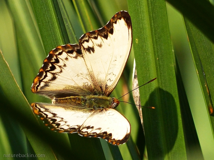 Just before its first flight, a male Battling Glider butterfly