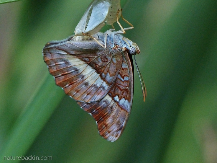 A newly emerged Battling Glider butterfly hanging below its empty pupa shell