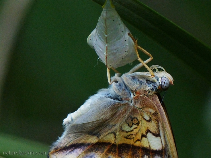 Close-up of Battling Glider butterfly newly emerged from pupa (chrysalis) working its proboscis