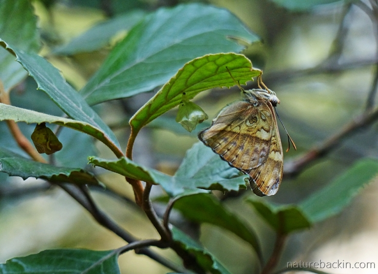 Battling Glide butterfly newly emerged from pupa