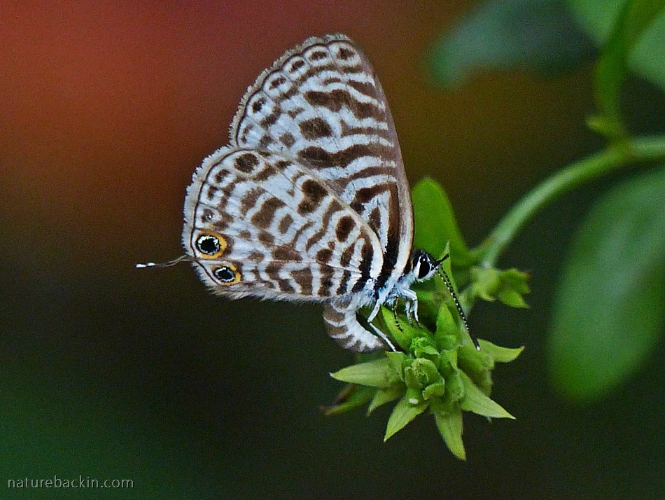 Zebra Blue butterfly on a Plumbago in a garden in KwaZulu-Natal, South Africa
