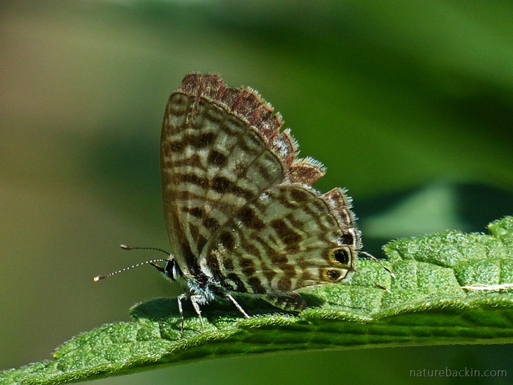 With wings slightly open, a Zebra Blue butterfly, South Africa