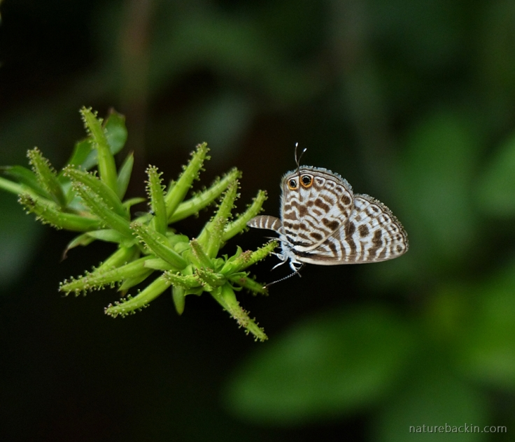 Perched on a Plumbago auriculata, a Zebra Blue butterfly, South Africa