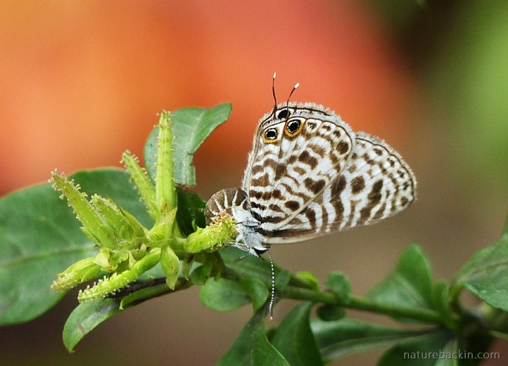 Ovipositing on a Plumbago auriculata, a Zebra Blue butterfly in a wildlife-friendly garden in South Africa