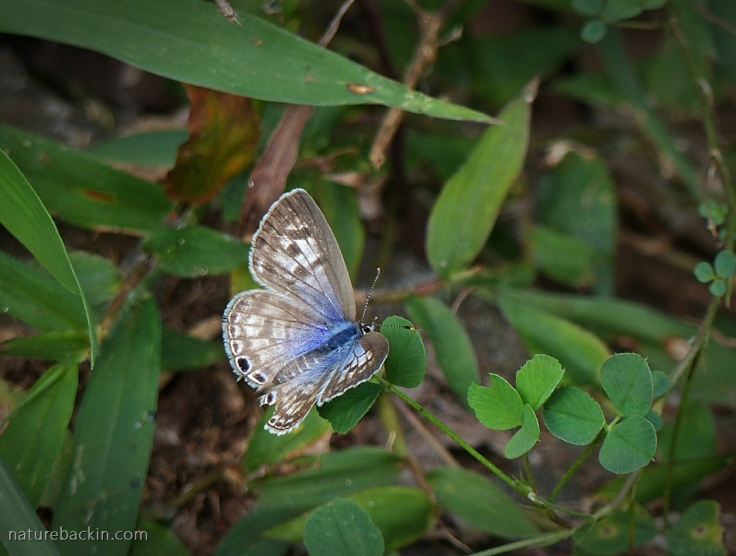With wings open showing the blue on the uppersides, a Zebra Blue butterfly, South Africa