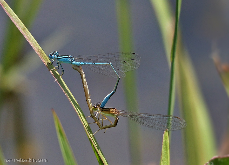 Mating damselflies in the wheel position