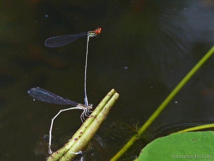 Pair of damselflies in tandem as female lays eggs