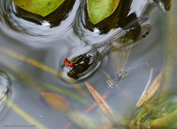 Female damselfly submerging to lay eggs. Male in tandem above surface of the water