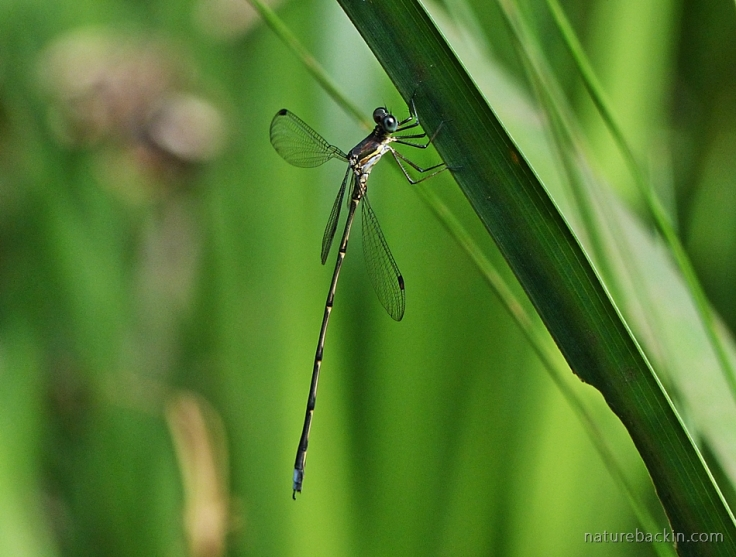 Damselfly resting with wings spread