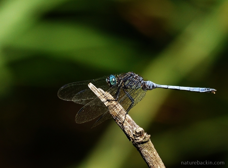 Dragonfly on perch, South Africa