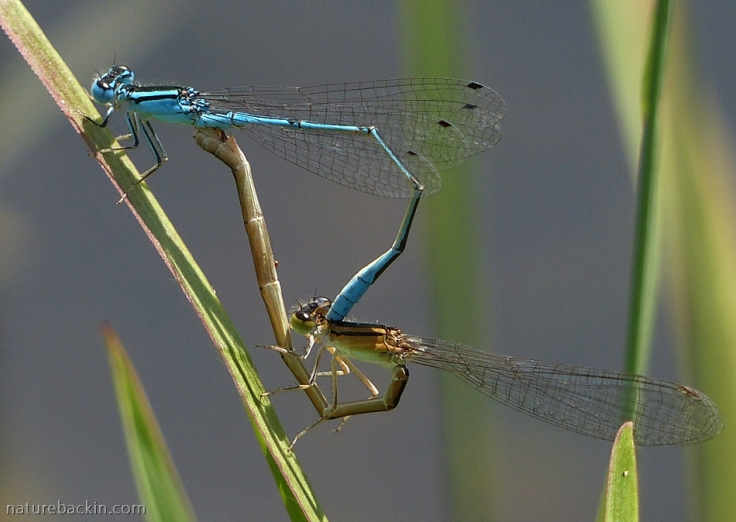 Pair of damselflies mating in the wheel position