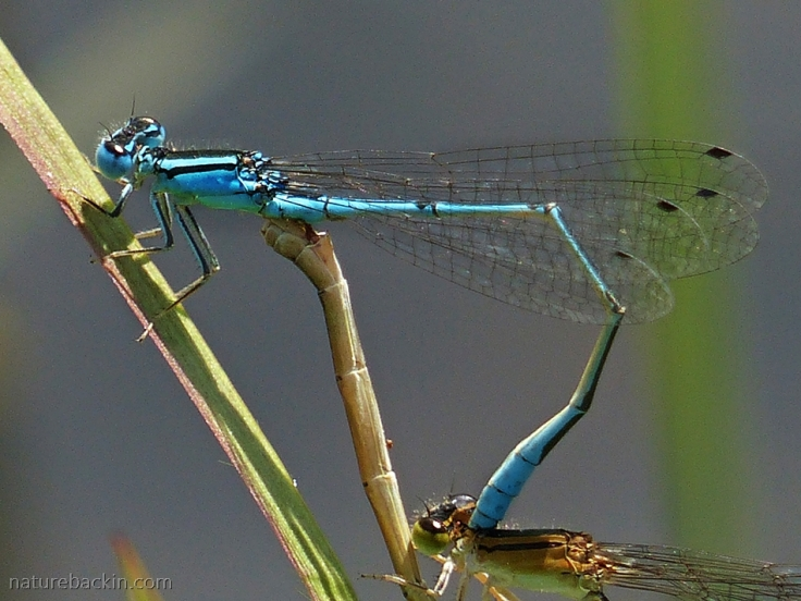 Close-up of pair of damselflies mating