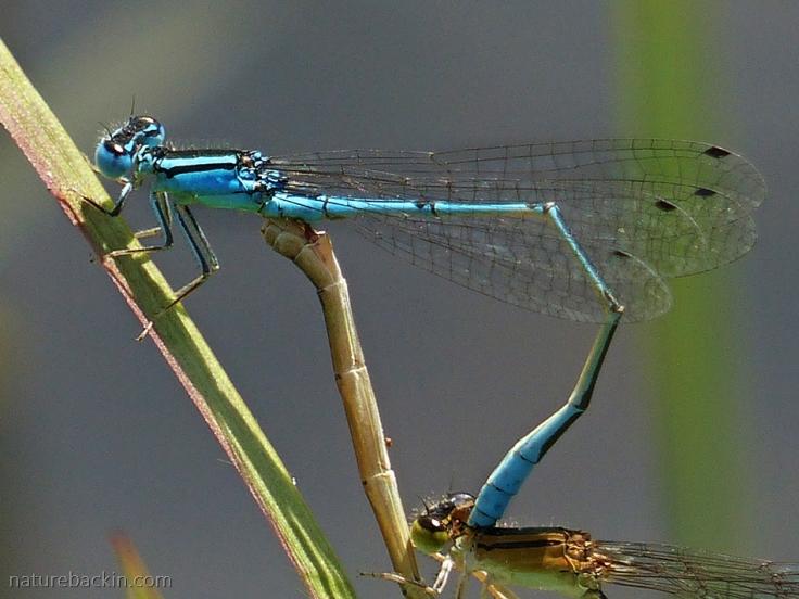 Close-up of pair of damselflies mating