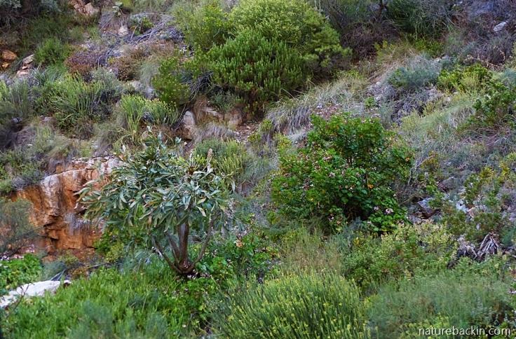 Meiringspoort-zonal-perlargonium-fynbos