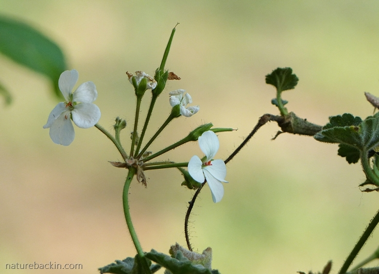 Pelargoniuim flower fruiting