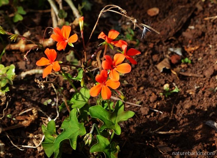Pelargonium tongaense 2