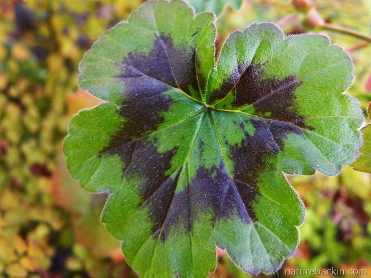 Pelargonium-zonal-2-leaf