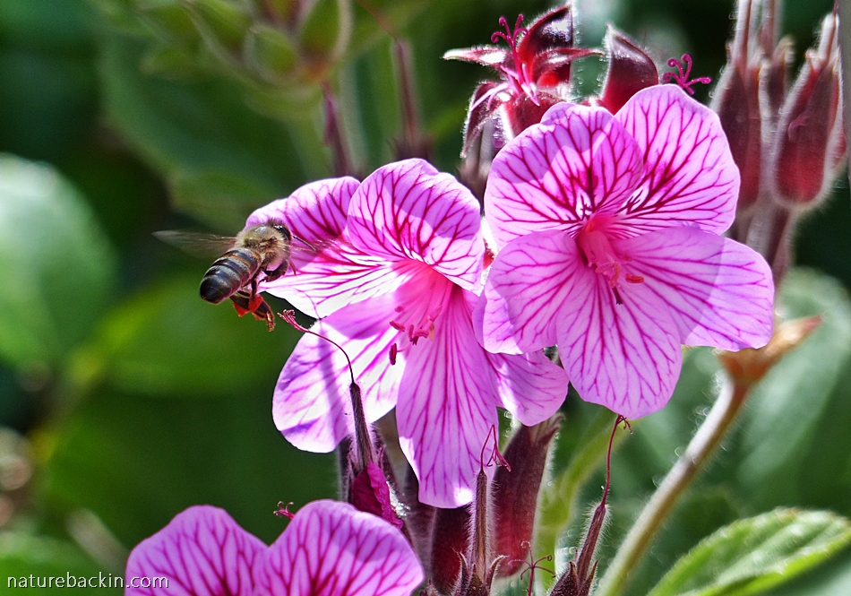 Pelargonium cucullatum or wild malva, growing in the Western Cape