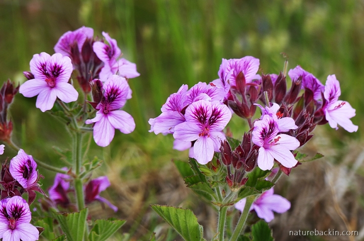 Wild malva pelargonium flowers in the Western Cape