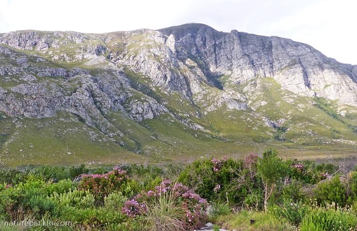 Pelargonium-cucullatum-Kleinrivier-Mountains