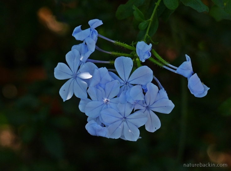 Flowers of a Plumbago auriculata, South Africa