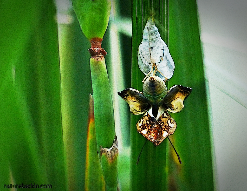 A male Battling Glider butterfly that has just emerged from its pupa. The wings are still folded and yet to expand.
