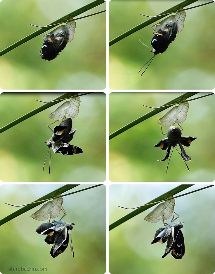 A sequence showing a female Battling Glider butterfly emerging from the pupa (chrysalis)