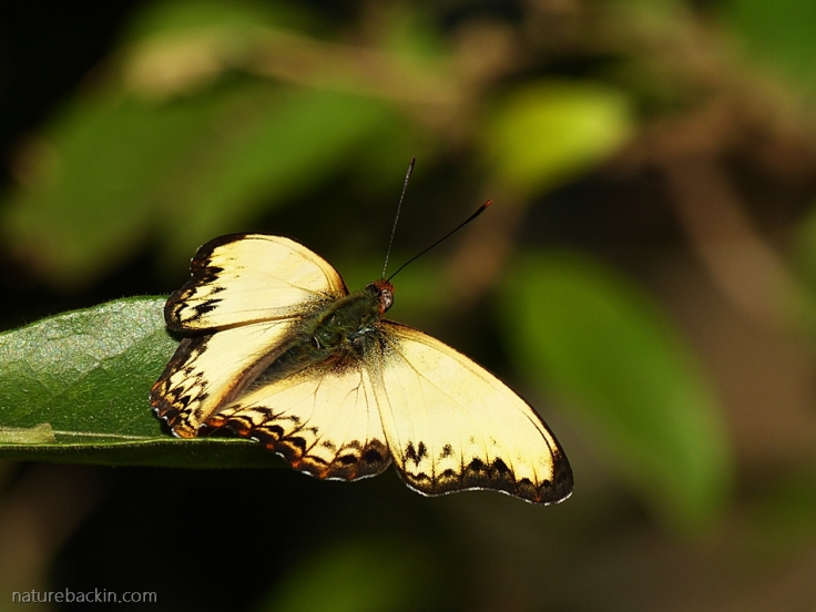 A male Battling Glider butterfly basking in the sun