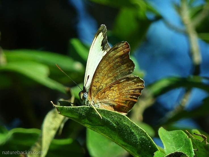 A male Battling Glider butterfly perching on a leaf
