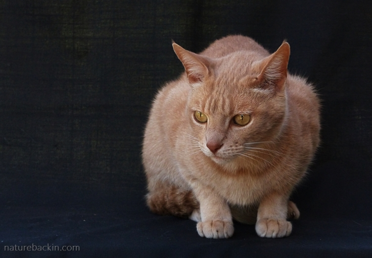 Ginger-cat