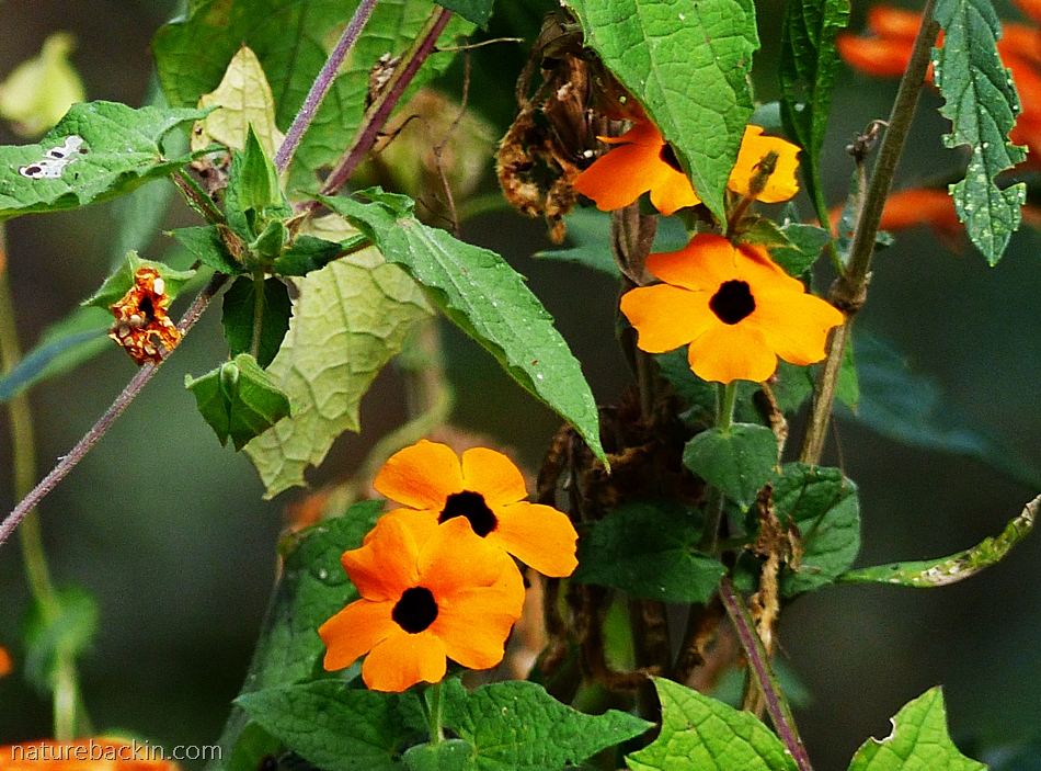 Winter flowering Black-Eyed-Susan South Africa