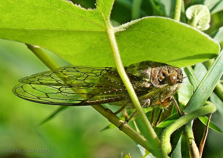 An adult cicada in vegetation on the banks of the Pongola River, Ithala Game Reserve, KwaZulu-Natal
