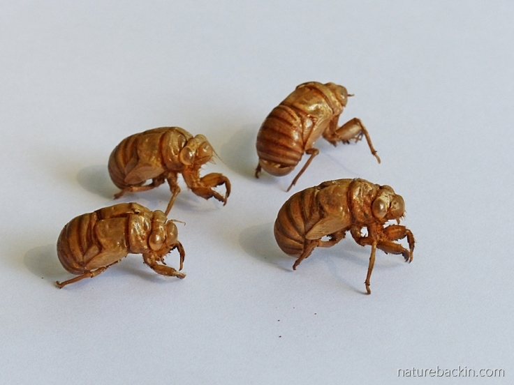 Small group of cicada exoskeletons, abandoned in KwaZulu-Natal, South Africa