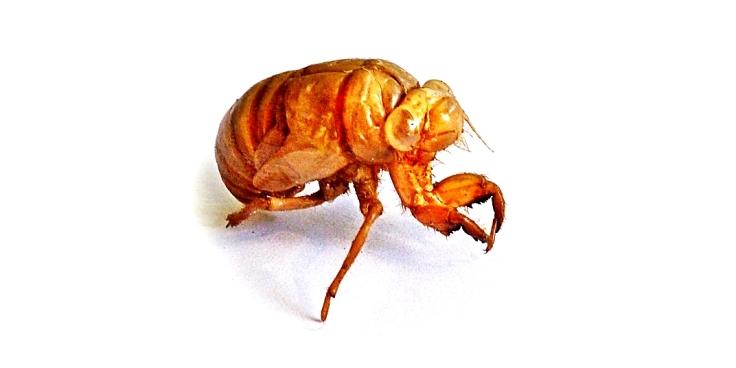 Exoskeleton of a cicada