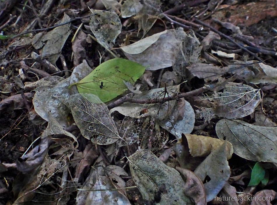 Leaf skeletons in forest-floor leaf litter