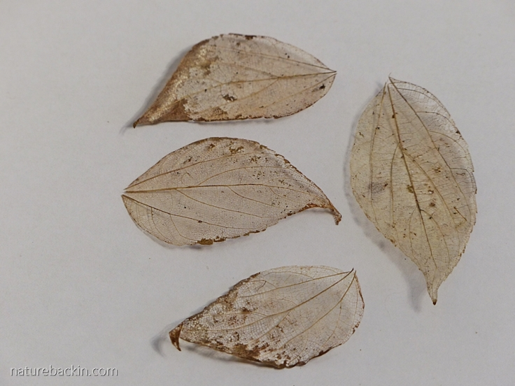 Leaf skeleton shapes as inspiration for paisley pattern