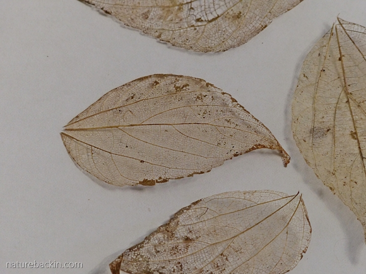 Dry leaf skeletons as inspiration for paisley pattern