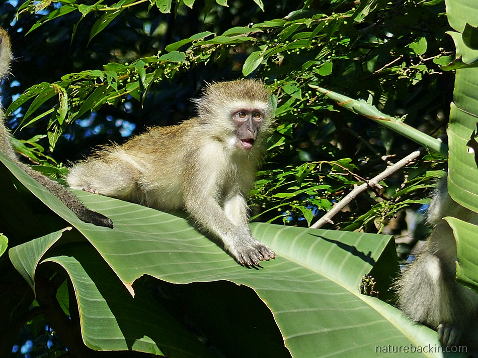 Young Vervet monkey in sunshine in a suburban garden in KwaZulu-Natal