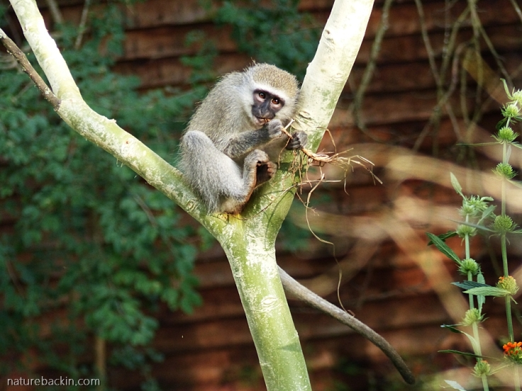Young Vervet monkey eating dry grass roots, KwaZulu-Natal