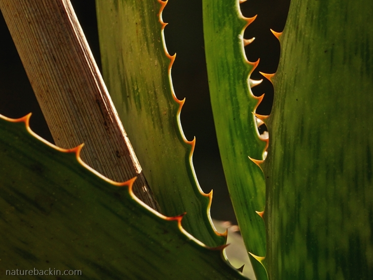 Close-up of leaves and thorns of Aloe cooperi, South Africa