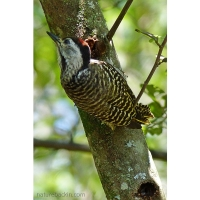 Woodpeckers foraging two-by-two