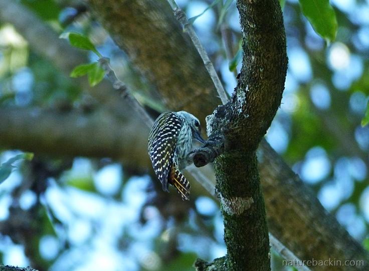 Female Cardinal Woodpecker foraging in a tree