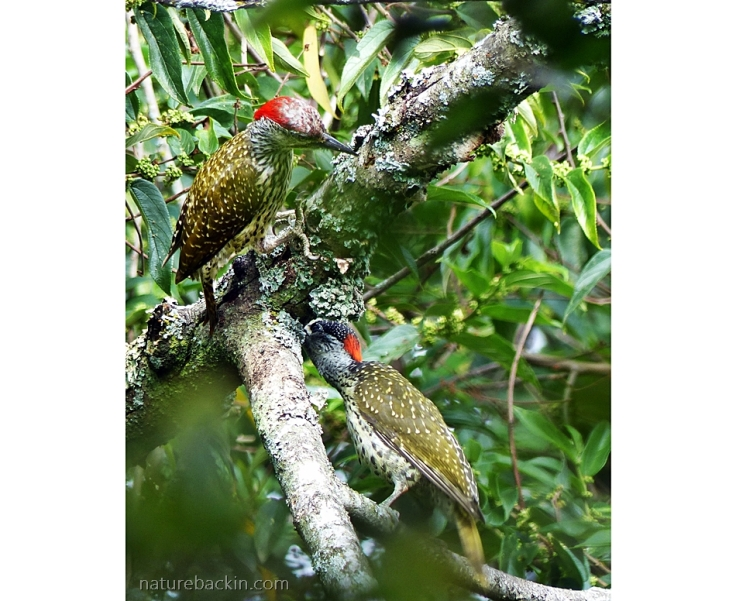 Pair of Golden-tailed Woodpeckers foraging in a tree