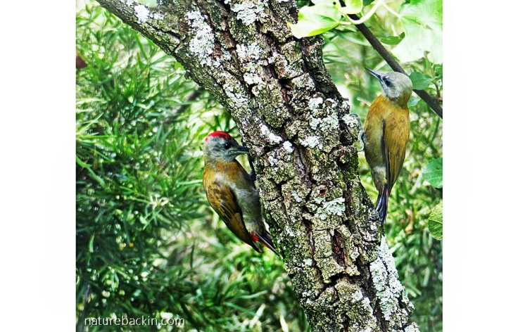 Pair of Olive Woodpeckers foraging on a tree together